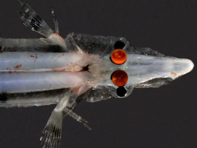 MIRROR TO THE SOUL: Researchers found Spookfish use mirrors in parts of its eyes. This view shows the fish�s upward pointing portion of the eye. The orange colour is from camera flash reflecting off the�mirror� inside the vertebrae's eyes' (Tamara Frank /Florida Atlantic University)