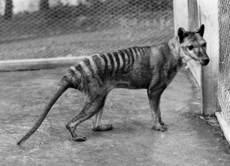 Researchers found that the Tasmanian tiger had extremely low genetic diversity. (Courtesy of The Tasmanian National Museum and Art Gallery)