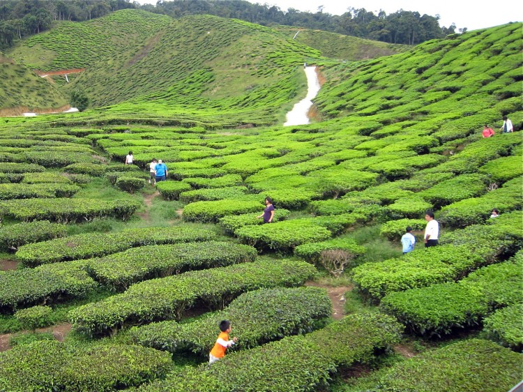 Tea has been picked and processed in China