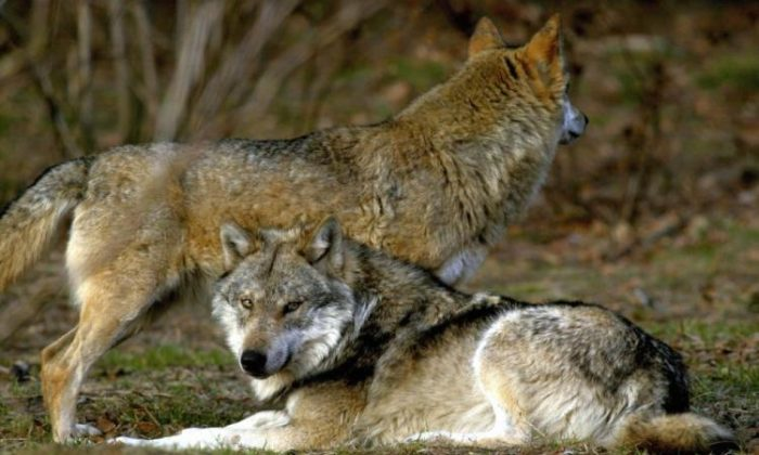 This stock photo shows a wolf. (Johannes Simon/AFP/Getty Images)