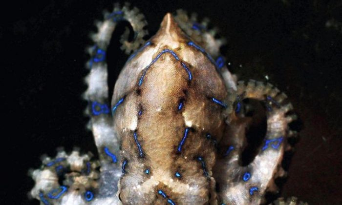 The blue-ringed octopus has a powerful venom that is a neuromuscular paralyzing toxin. Its bite can cause paralysis and then death if no medical treatment is sought. (Ian Waldie/Getty Images)