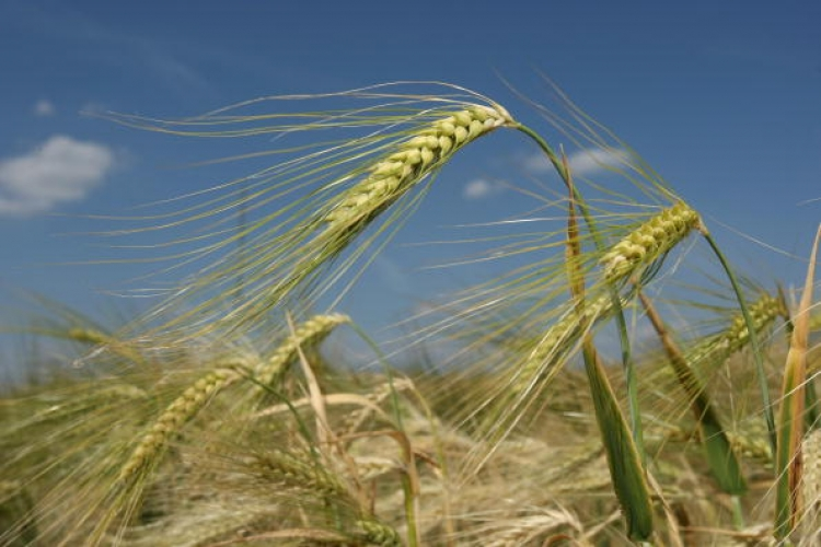 Barley stands in a farmers field on June 9, 2008 in Meseberg, Germany. World food prices have risen across the globe due to higher demand for biofuels, a leaked World Bank report says. (Sean Gallup/Getty Images)