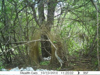 An international team of scientists has uncovered the first evidence of a non-human species cultivating plants for use other than as food. Instead, bowerbirds propagate fruits used as decorations in their sexual displays. (University of Exeter)