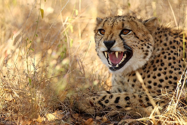 A cheetah hisses on July 20, 2010, in the Edeni Game Reserve