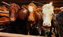 UK Unveils Plans to Ban Live Animal Exports in England and Wales