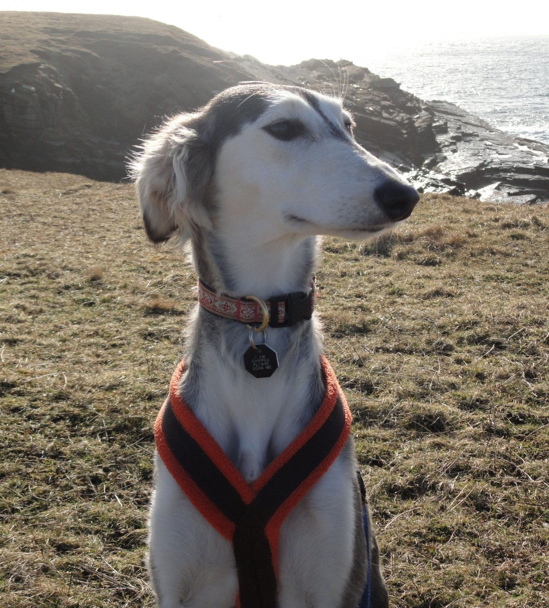 Salukis appear genetically different because they were geographically isolated and were not part of the 19th century Victorian-initiated Kennel Clubs that blended lineages to create most of the breeds we keep as pets today. Saluki-like animals appear on ancient Egyptian tombs but the modern-day breed is not the same. (Keith Dobney)