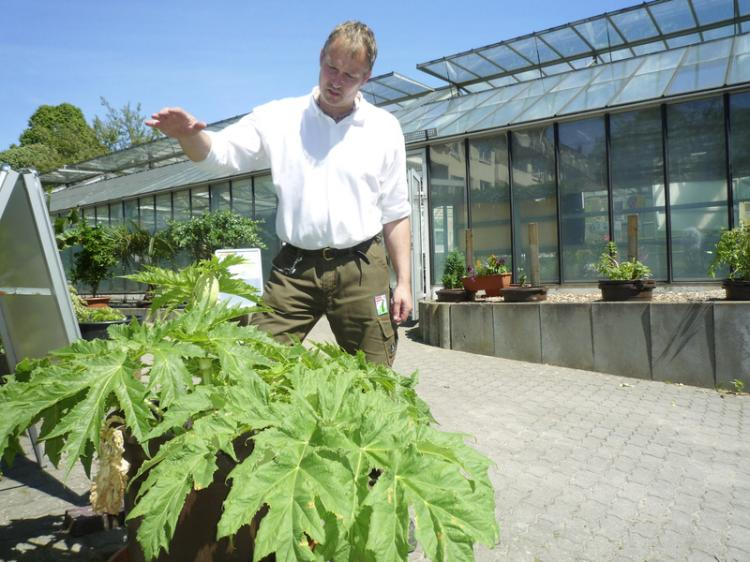 Before blooming at the end of June, the giant hogweed can reach a height of up to 12 feet, says Helge Masch, head of the Special Botanical Garden of Wandsbek, a suburb of Hamburg, Germany. (The Epoch Times)