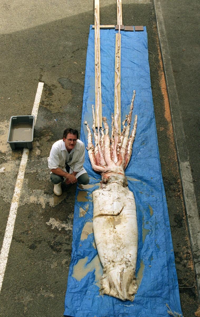 Giant Squid on display on the Wellington dockside