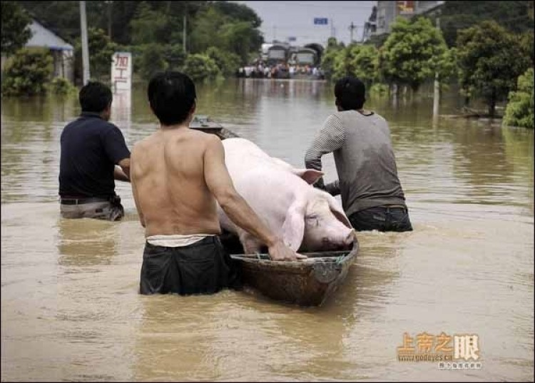 Hog-evacuating boat in Lanxi city, Zhejiang. (From godeyes.cn)