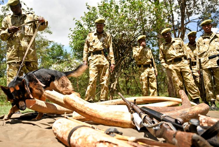 Members of the Kenya Wildlife Service investigate ivory and wildlife animal skin on November 30, 2009. Poaching and the sell of endangered animal meat is still a large problem in Africa. (Simon Maina/AFP/Getty Images)