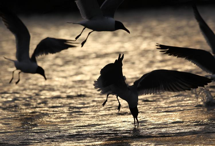 Seagulls feed not far from the massive BP oil spill offshore May 14, in the sensitive marshlands near Venice, Louisiana. Oil continues leaking out of the Deepwater Horizon wellhead as BP works to contain the massive spill in the Gulf of Mexico.  (John Moore/Getty Images)