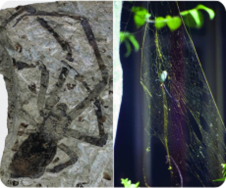 Largest spider fossil belongs to the living genus Nephila, or golden orb-weavers. (Kansas University)