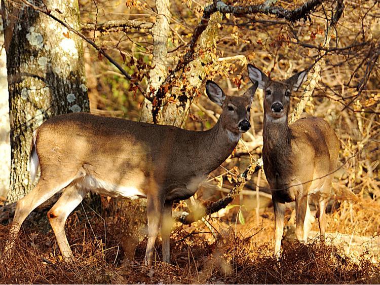 Deer watch tourists from the brush in the Shenandoah National Park November 1, 2008.    (Karen Bleier/AFP/Getty Images)
