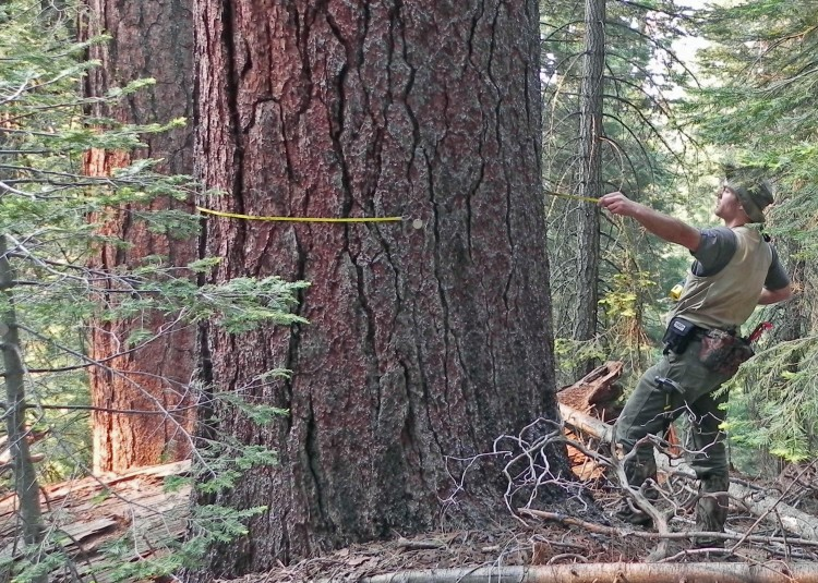 Washington State University's Mark Swanson pulls a tape tight around a 4-foot-wide sugar pine, one of the 34,500 live trees counted and tagged for long-term study in a Yosemite National Park study plot. (Washington State University)