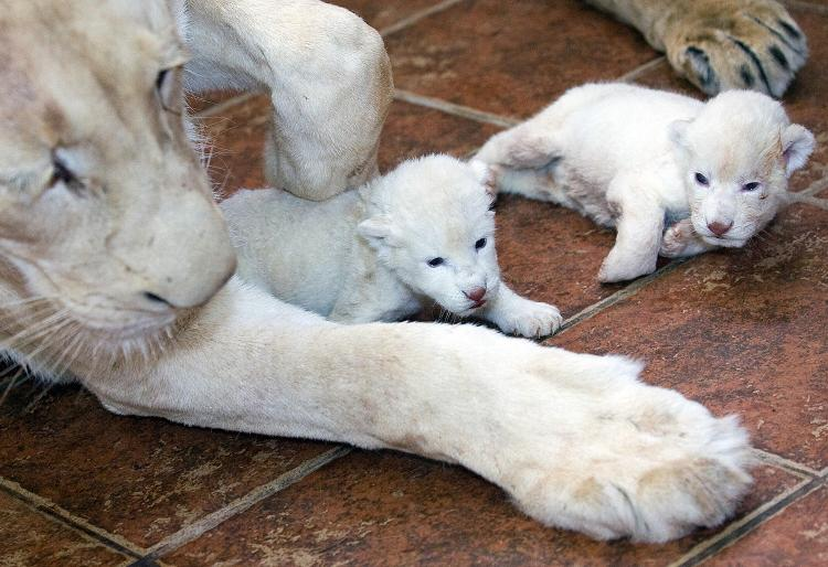 Two rare white lion cubs were born this week at the Belgrade Zoo.    (Andrej Isakovic/AFP/Getty Images)