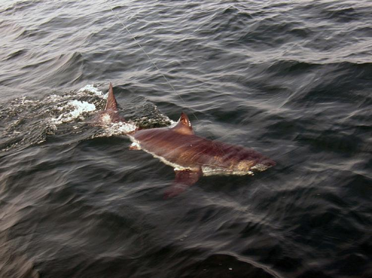 The juvenile great white shark that was caught and released in the Stellwagen Bank, in Boston, MA, on Saturday.  (Photo courtesy of Bruce Sweet )