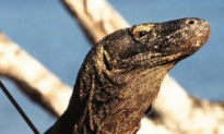 Giant Predatory Lizard Once Co-Existed With Humans 50,000 Years Ago (Video)