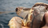 Continued Development Along Florida Coast Threatens Sea Turtle Comeback