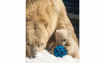 Australian Polar Bear Takes up Residence in Northern Ontario