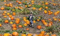 Pumpkin Producers Capitalizing on US Jack O' Lantern Shortage