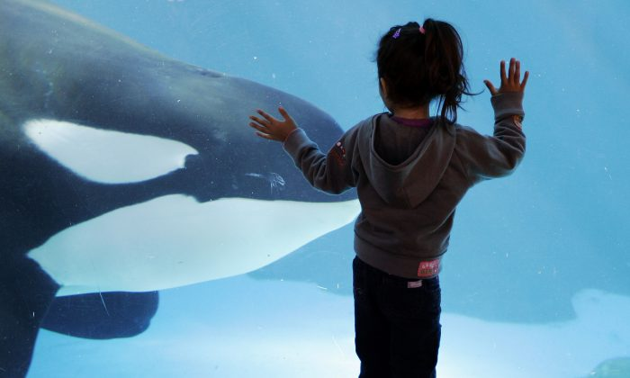 A young girl watches through the glass as an orca passes by while swimming in a display tank at SeaWorld San Diego during November 2006 (AP Photo/Chris Park)