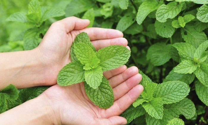 Mint plants (lzf/iStock)