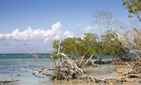 Rising Seas Threaten to Drown Important Mangrove Forests, Unless We Intervene