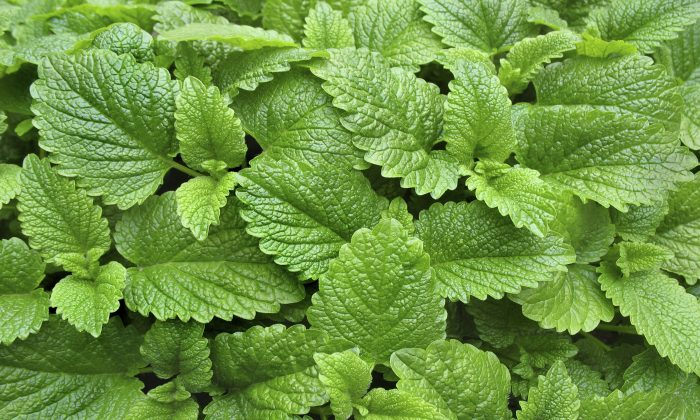 Lemon balm is a member of the mint family with a sweet and sour smell. (MilosCirkovic/iStock)