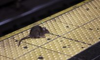Instagram Video of Rat Climbing Up Sleeping NYC Subway Rider Sparks Many Reactions