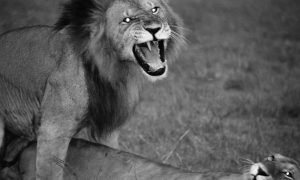 Silent Pride, Saving the Last Lions of Africa