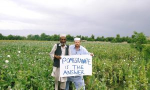 Afghan Farmers Find Alternative to Opium: Pomegranate