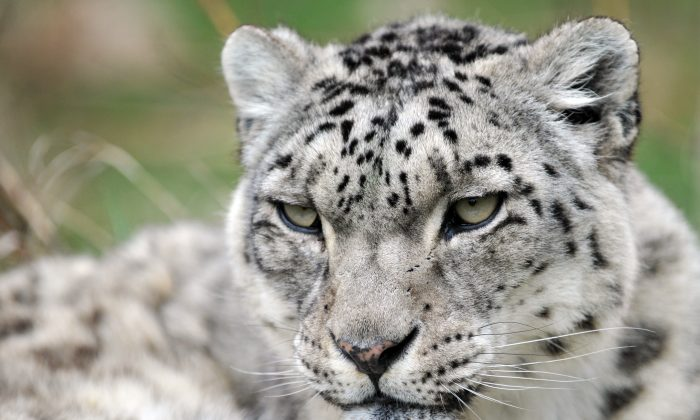 A Snow Leopard (Panthera uncia) at the NABU center (Nature and Biodiversity Conservation Union), a German organization that aims at reintroducing the cat and fighting against poaching, near the Issyk Kul lake, in the outskirts of Semenovka village, some 330 kilometers southeast of Bishkek, the capital of Kyrgyzstan on April 17, 2015. (VYACHESLAV OSELEDKO/AFP/Getty Images)