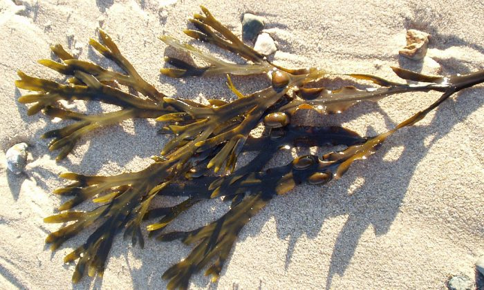 Bladderwrack is a brown seaweed rich in iodine. This herb may benefit patients with hypothyroidism. (Stemonitis/Wikimedia Commons)