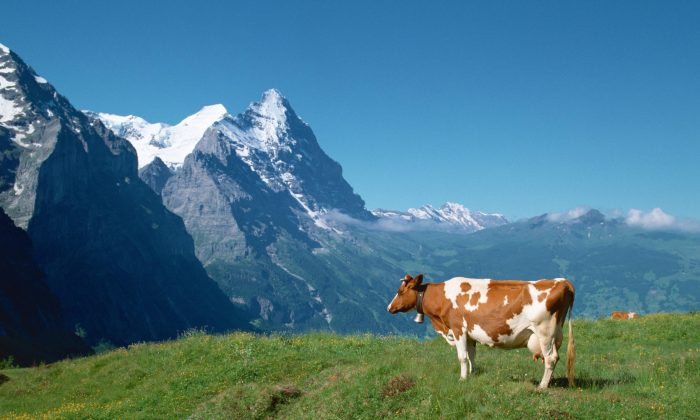In the Alps, the ringing of cow and goat bells resonate throughout the mountains, as they graze quietly in the meadows. (Epoch Times)