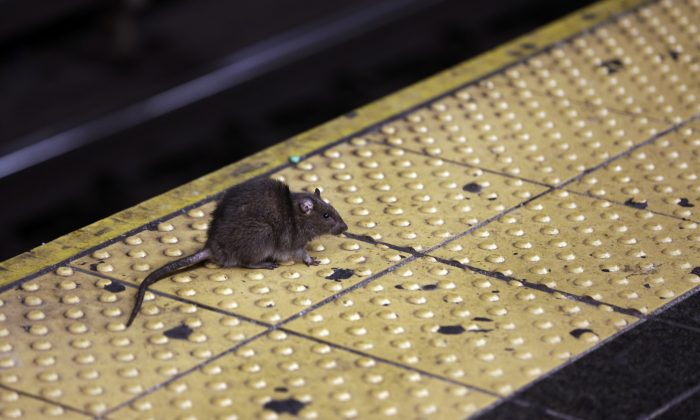 A rat on the Times Square subway platform in New York on Jan. 27, 2015. (Richard Drew/AP Photo)