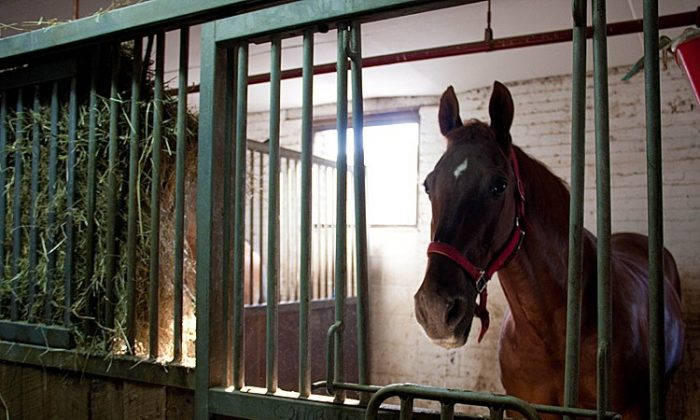 A HOME IN THE CITY: Arnie the carriage horse stands in his 10-foot-by-10-foot home at the Clinton Park Stable on West 52nd Street and 11th Avenue. He lives here part-time, spending about five months of the year on a farm in Pennsylvania. (TARA MacISAAC/THE EPOCH TIMES)