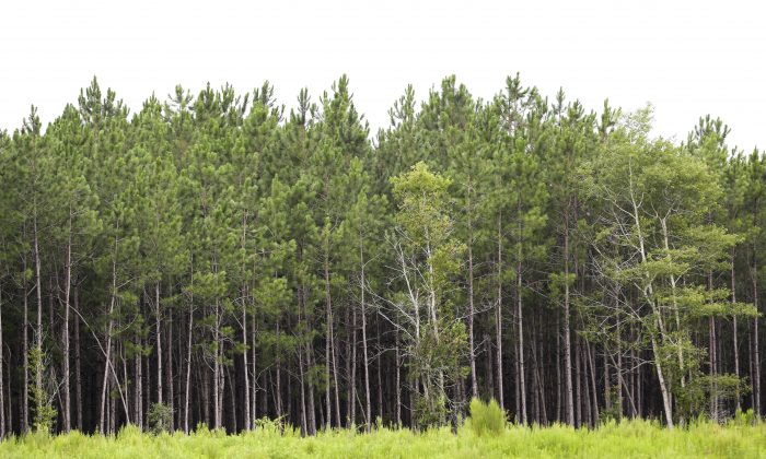 Slash pine trees almost ready for harvest in front of a field of newly planted seedlings are seen in Live Oak, Fla., on July 28, 2015. The demand for timber worldwide is booming. Dozens of lumber mills and pine straw, bark and wood pellet processing plants have moved into the region to take advantage its unique soil composition and warm, moist climate in which pine trees thrive. (AP Photo/John Raoux)