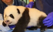 Panda Cub Getting Checkup is Most Adorable Thing Ever (Video)