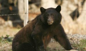 Pennsylvania Man Kills 679-Pound Black Bear at 5 Yards With Handgun: Report