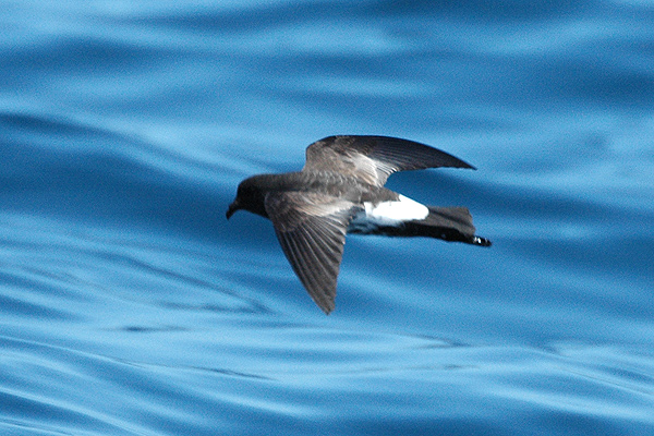The New Zealand storm petrel  (Aviceda at English Wikipedia/CC BY 3.0)