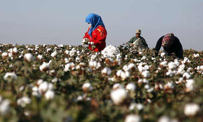 Cotton pickers harvest a crop of cotton at a field in Hami, in China's far west Xinjiang region on Sept. 20, 2011. (STR/AFP/Getty Images)