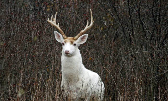 In a Nov. 29, 2012 photo provided by Seneca White Deer Inc., a white buck stands in underbrush at the former Seneca Army Depot in central New York. (Dennis Money/Seneca White Deer Inc. via AP)