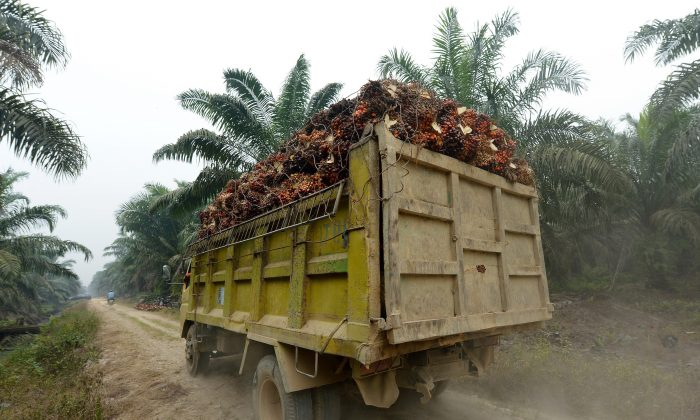 A truck transporting palm oil seeds at a plantation area in Pelalawan, Riau Province in Indonesia's Sumatra Island on Sept. 16, 2015. Indonesia has some of the world's most extensive and biodiverse rainforests, but huge swathes have been chopped down by palm oil, mining and timber companies. Palm oil—used primarily in the cosmetics, food, and bio-fuel sectors—is a controversial industry, with campaigns mounted by environmental groups and consumers. The main cause of choking haze across much of Southeast Asia is illegal fires started in peatland and forest on Sumatra and the Indonesian part of Borneo to quickly and cheaply clear land for palm oil and pulp and paper plantations. The illegal fires increased in number as plantations expanded, in particular due to rising global demand for palm oil. (Adek Berry/AFP/Getty Images)