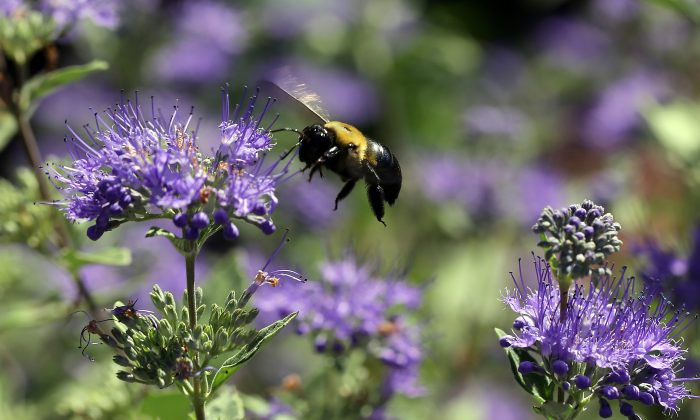 A carpenter bee buzzes around the garden at the Bayer North American Bee Care Center in Research Triangle Park, N.C., Tuesday, Sep. 15, 2015.  (AP Photo/Ted Richardson)