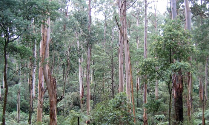 The Sherbrooke Forest, in Victoria, Australia, on Sept. 17, 2006. (Patche99z/CC SA)