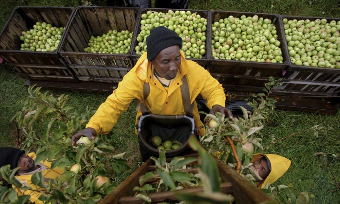 Simon Wallace from Lyman Orchards picks apples from a ladder in Middlefield, Conn., on Oct. 19, 2007. (Cloe Poisson/The Hartford Courant via AP)