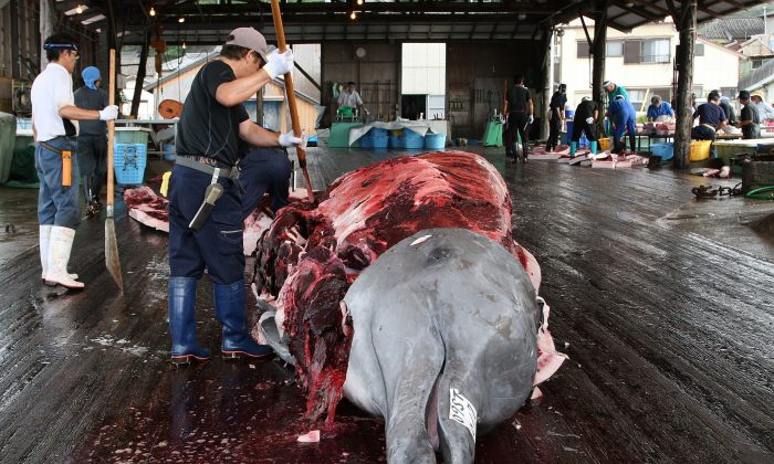 Local children touch a Baird's Beaked whale at Wada Port on July 29, 2009 in Minamiboso, Chiba, Japan before it's slaughtered. (Photo by Junko Kimura/Getty Images)