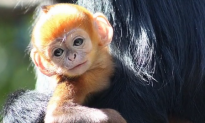 Extremely Rare Bright Orange Monkey Born (Video)
