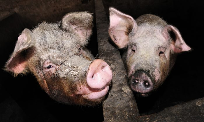 Stock photos of pigs (  PETER PARKS/AFP/Getty Images)