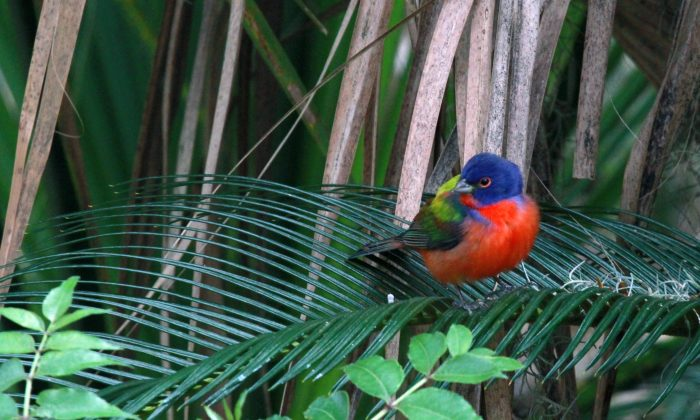 A painted bunting in a file photo. (AP Photo/WSB-TV, Nelson Hicks)